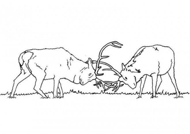 Coloriage et dessins gratuits Chevreuils  se combattent à imprimer