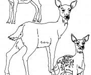 Coloriage Famille de Chevreuils