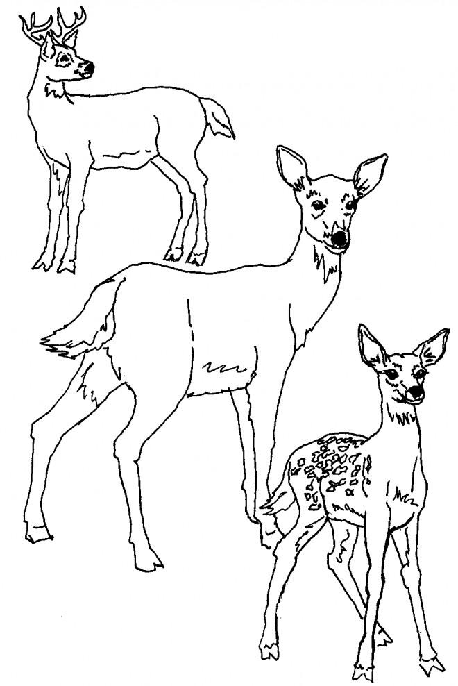 Coloriage et dessins gratuits Famille de Chevreuils à imprimer