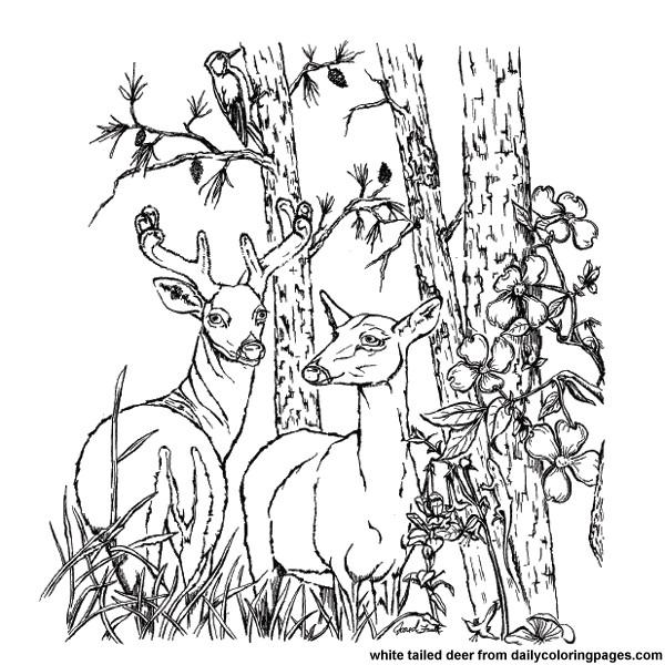 Coloriage et dessins gratuits Photo Chevreuils à imprimer