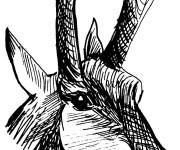 Coloriage Tête Chevreuil au crayon