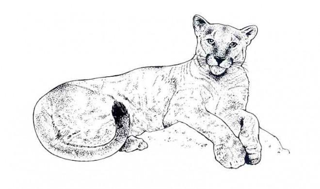Coloriage et dessins gratuits Cougars en couleur à imprimer