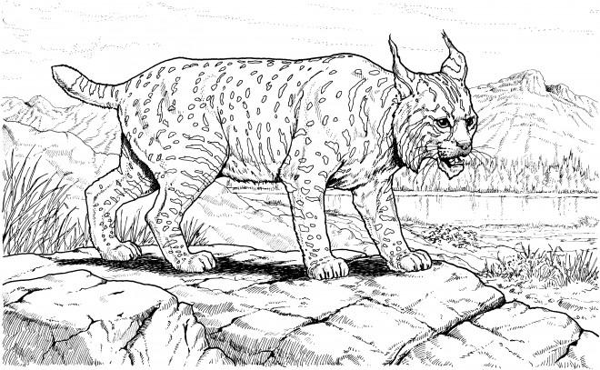 Coloriage et dessins gratuits Cougars prés d'un fleuve à imprimer