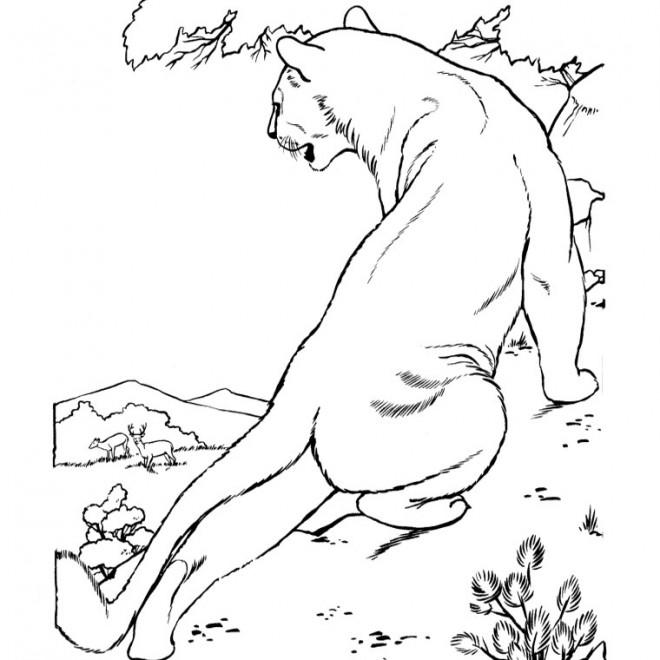 Coloriage et dessins gratuits Cougars regard les gazelles à imprimer