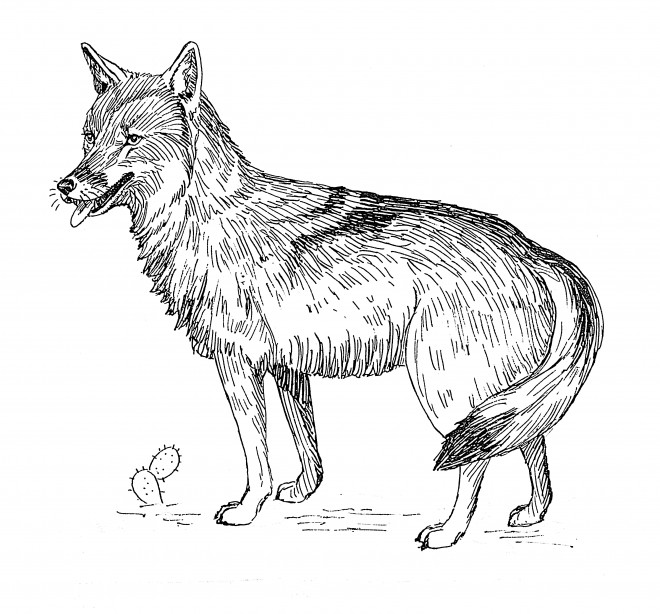 Coloriage coyote t l charger - Dessin de coyote ...