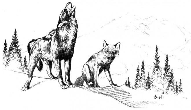 Coloriage et dessins gratuits Images des Coyotes à imprimer