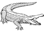 Coloriage Crocodile 11