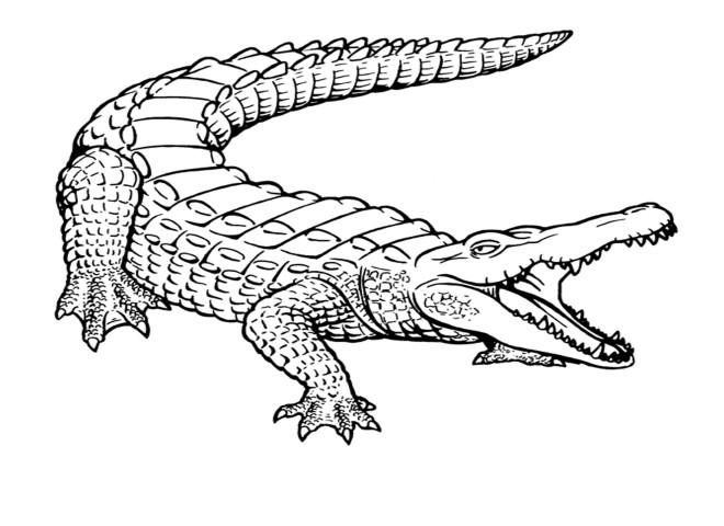 Coloriage Gratuit Crocodile.Coloriage Crocodile 11 Dessin Gratuit A Imprimer