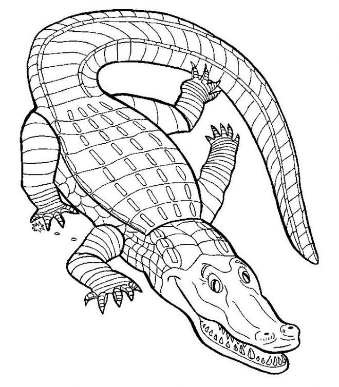 Coloriage Crocodile Couleur Dessin Gratuit A Imprimer