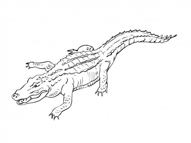 Coloriage crocodile maternelle dessin gratuit imprimer - Image crocodile dessin ...