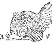 Coloriage et dessins gratuit Dindon au crayon à imprimer