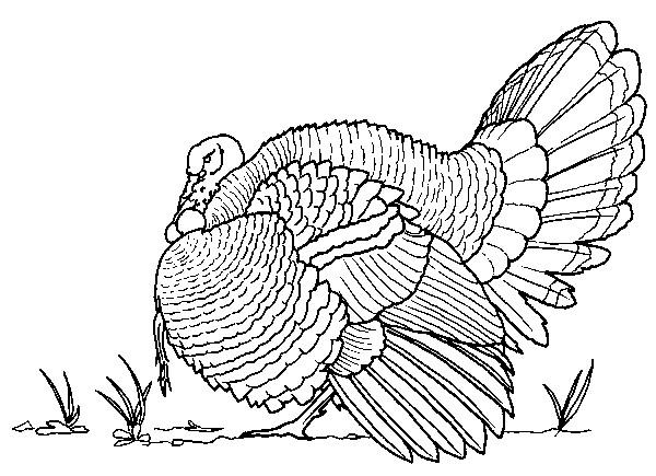 Coloriage et dessins gratuits Dindon au crayon à imprimer