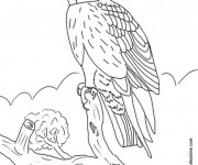 Coloriage Faucon