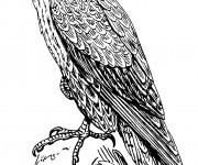 Coloriage et dessins gratuit Faucon au crayon à imprimer
