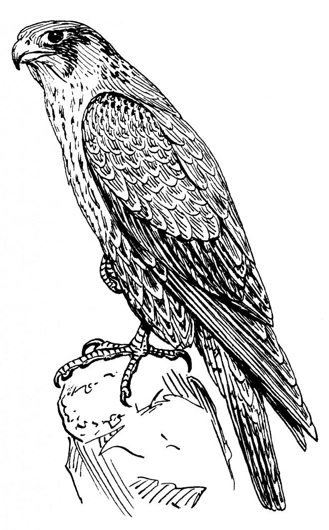 Coloriage et dessins gratuits Faucon au crayon à imprimer