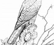 Coloriage et dessins gratuit Faucon maternelle à imprimer
