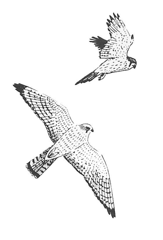 Coloriage faucons en vol dessin gratuit imprimer - Dessin oiseau en vol ...