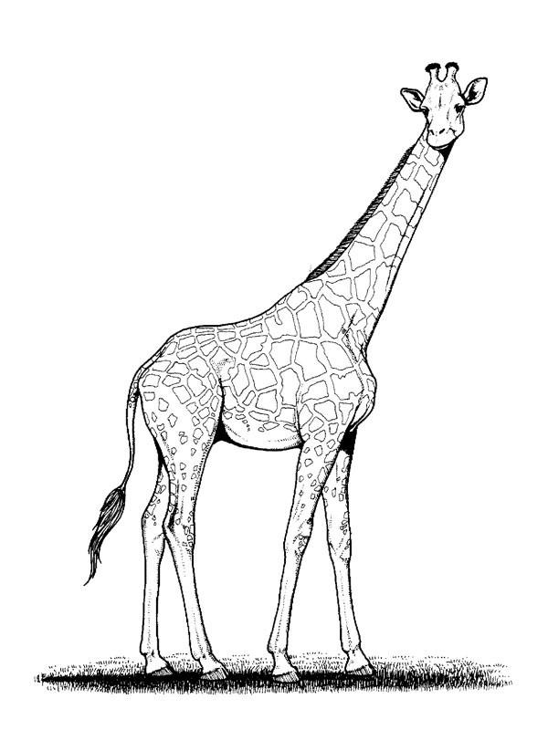 Coloriage girafe au crayon dessin gratuit imprimer - Girafe a imprimer ...