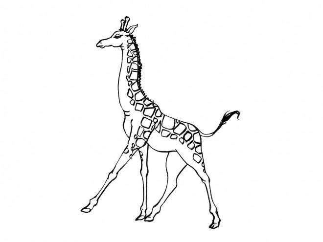 Coloriage et dessins gratuits Girafe en train de marcher à imprimer