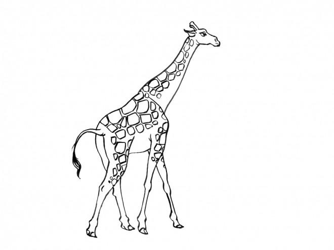 Coloriage et dessins gratuits Girafe longue à imprimer