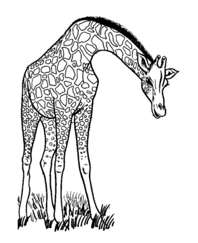 Coloriage et dessins gratuits Girafe maternelle à imprimer