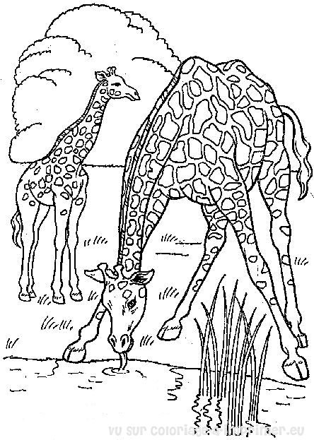 Coloriage et dessins gratuits Girafes en train de manger à imprimer