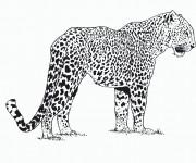 Coloriage et dessins gratuit Guépard d'Afrique à imprimer