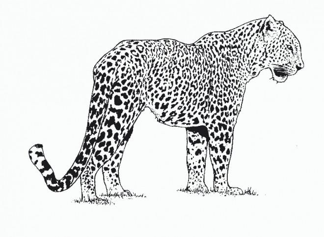 Coloriage et dessins gratuits Guépard d'Afrique à imprimer