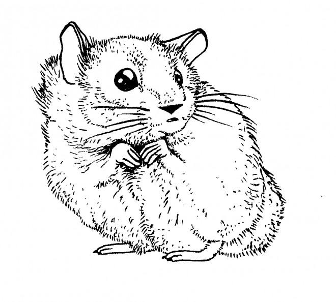 Coloriage hamster au crayon dessin gratuit imprimer - Hamster dessin anime ...