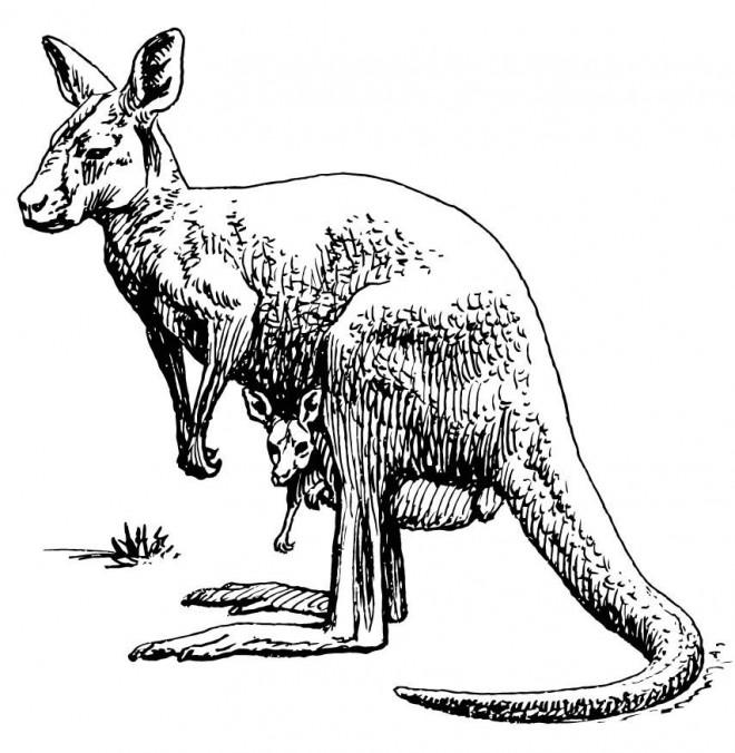 Coloriage et dessins gratuits Kangourou au crayon noir à imprimer