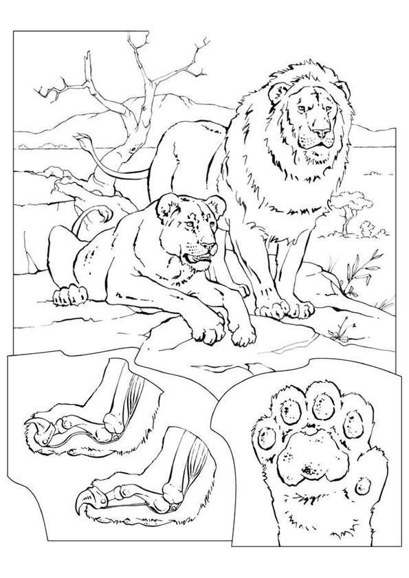 Coloriage et dessins gratuits Lion 47 à imprimer