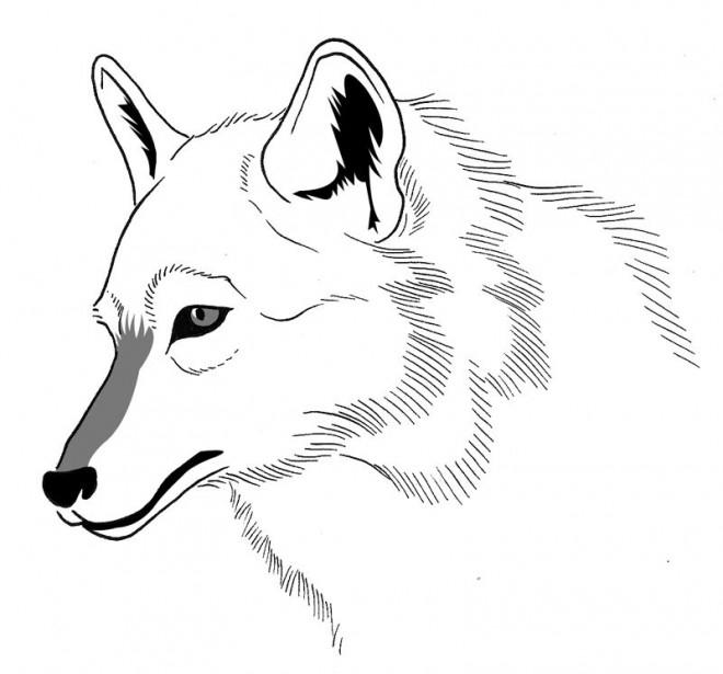 Coloriage Loup 20 Dessin Gratuit à Imprimer