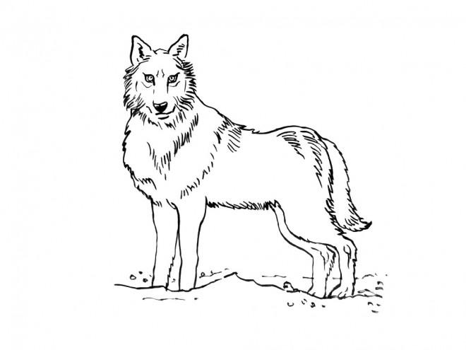 Coloriage et dessins gratuits Loup 5 à imprimer