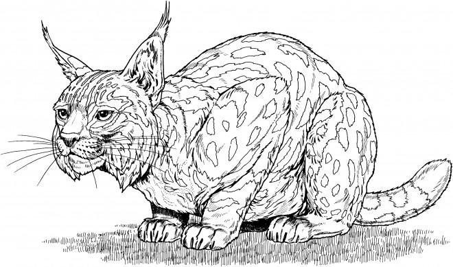 Coloriage et dessins gratuits Lynx attentif à imprimer
