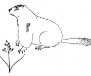 Coloriage dessin  Marmotte 4