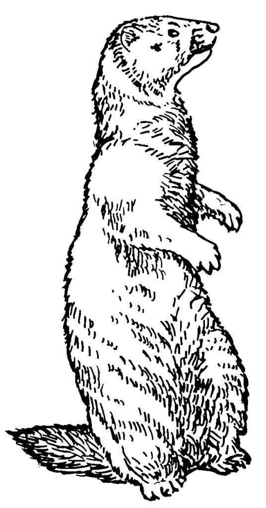 Coloriage Marmotte Au Crayon Dessin Gratuit à Imprimer