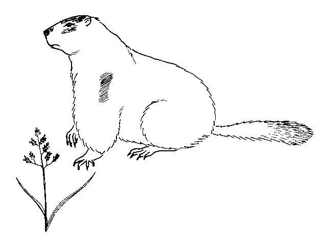 Coloriage Marmotte Facile Dessin Gratuit à Imprimer