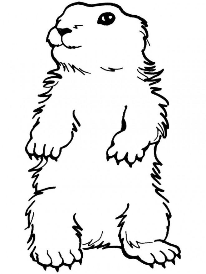Coloriage Marmotte Portrait Dessin Gratuit à Imprimer