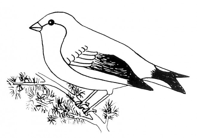 Coloriage oiseau en noir et blanc dessin gratuit imprimer - Dessin d oiseau a imprimer ...