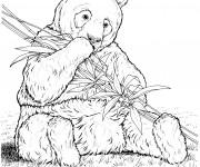 Coloriage Panda réaliste