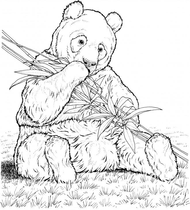 Coloriage et dessins gratuits Panda réaliste à imprimer