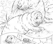 Coloriage et dessins gratuit Phoques en famille à imprimer