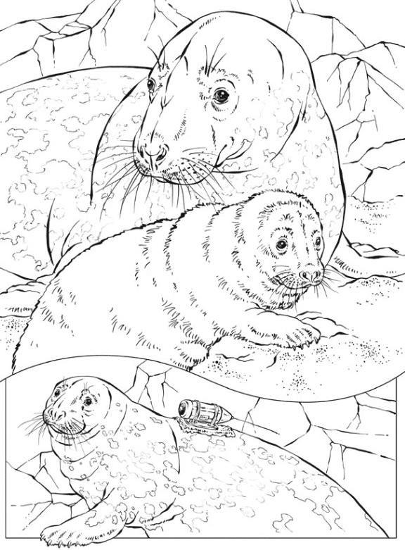 Coloriage et dessins gratuits Phoques en famille à imprimer