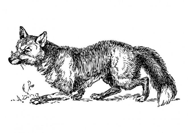 Coloriage renard r aliste dessin gratuit imprimer - Renard en dessin ...