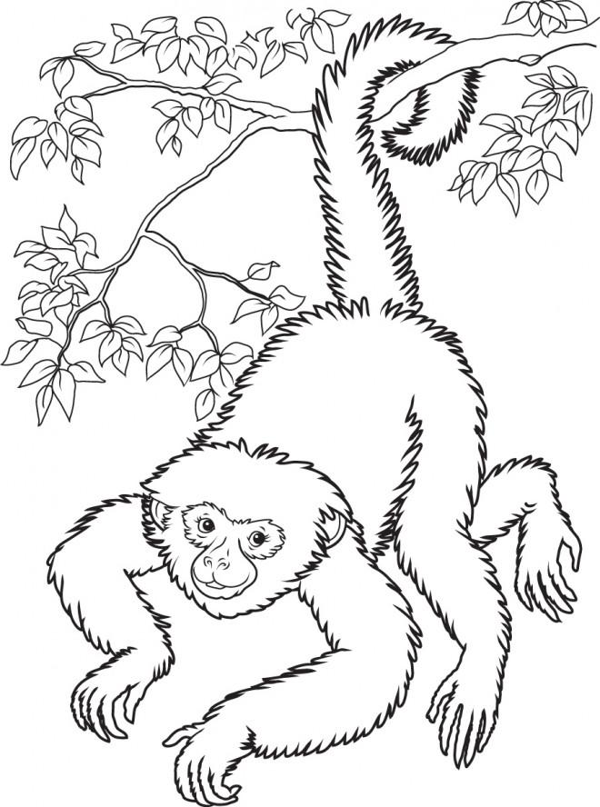 Coloriage et dessins gratuits Singe réaliste à imprimer
