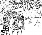 Coloriage Deux Tigres dans la nature