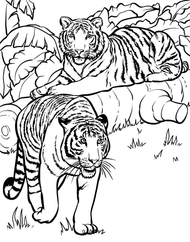 Coloriage et dessins gratuits Deux Tigres dans la nature à imprimer