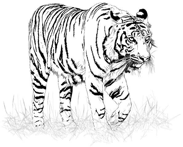 Coloriage image de tigre en noir dessin gratuit imprimer - Image dessin tigre ...