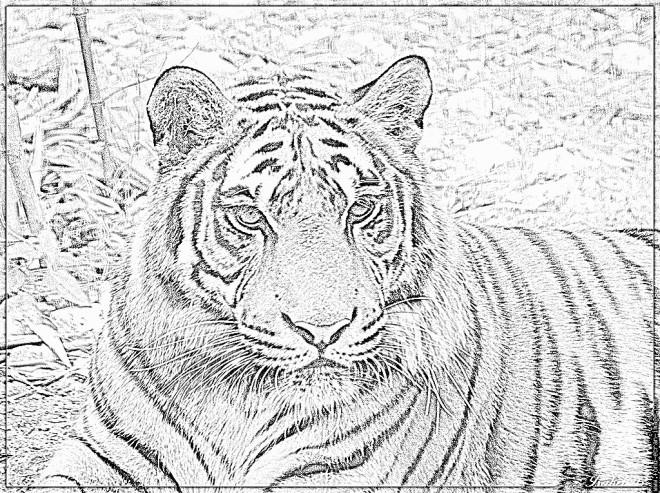 Coloriage et dessins gratuits Photo d'un Tigre en noir et blanc à imprimer