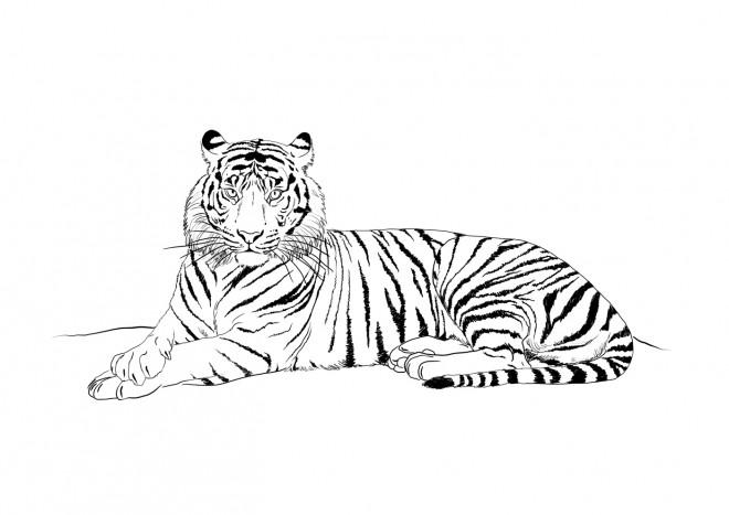 Coloriage Tigre.Coloriage Tigre Au Crayon Dessin Gratuit A Imprimer